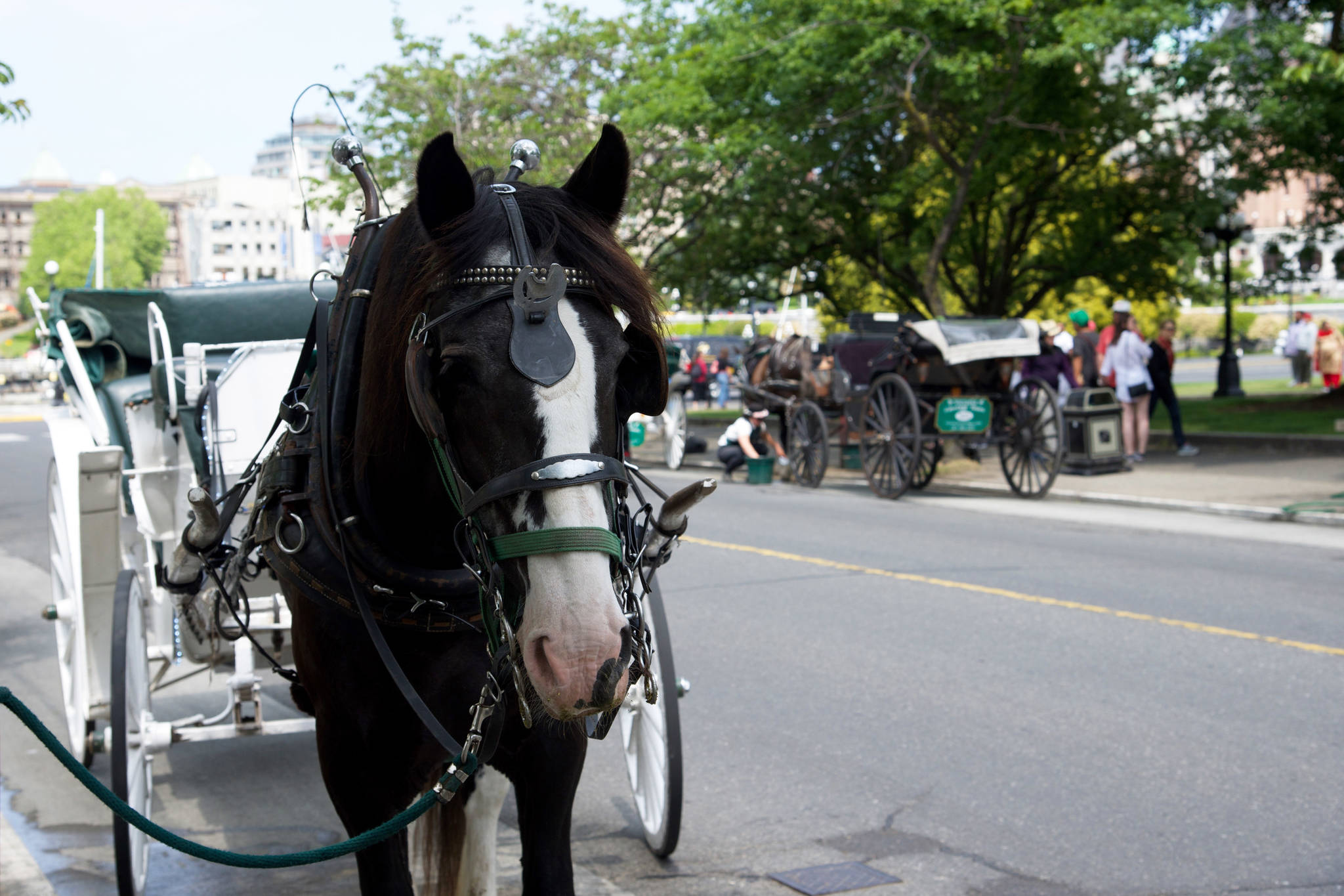 Victoria City Council asked for advise from the BCSPCA on how to move forward with the horse-drawn carriage industry. (Nicole Crescenzi/News Staff)